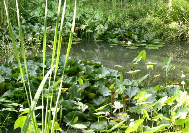 Naturnaher Gartenteich: Ort für Flora und Fauna.