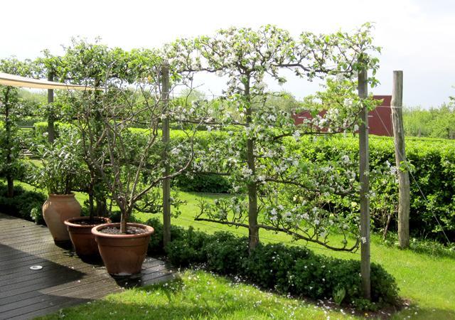 Pflanzenverwendung: Obstspaliere gewähren Sichtschutz.