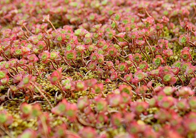 Viele Sedum-Arten haben rötliche Blätter. So wird das Dach rot wie ein traditionelles Ziegeldach.