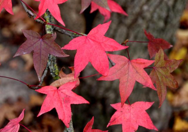 Der neugepflanzte Amberbaum (Liquidambar styraciflua), in herbstlichen Farben.