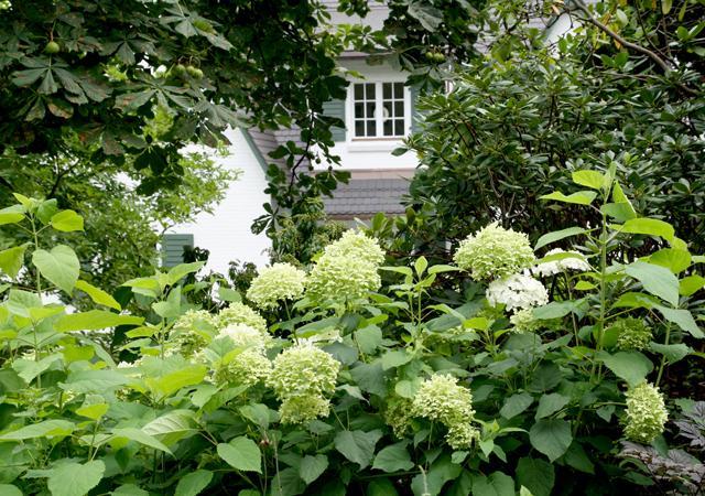 Hortensien im Vorgarten.